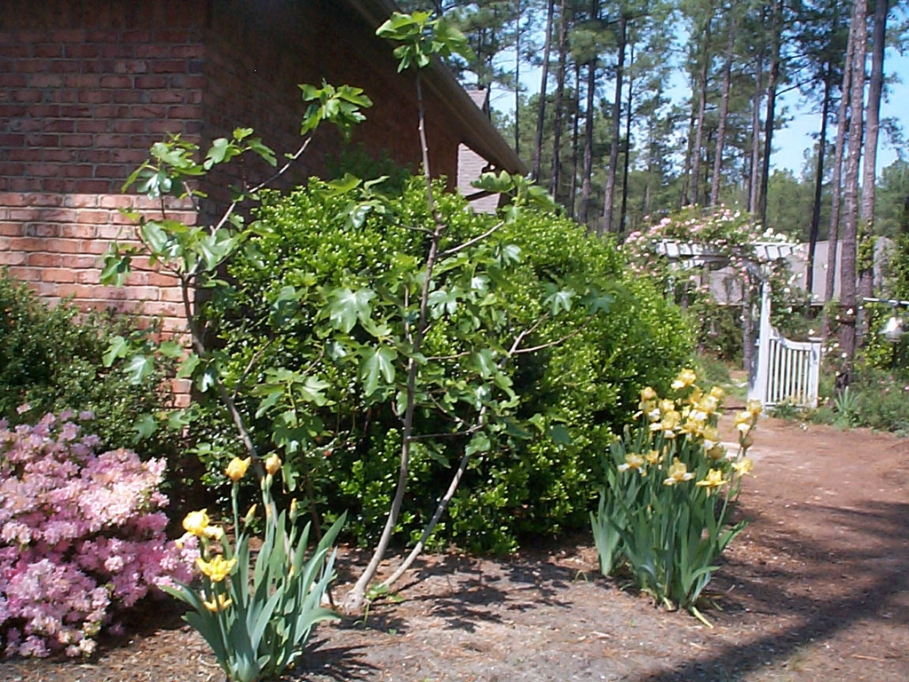 with Ficus carica and Iris germanica in spring in Moore County