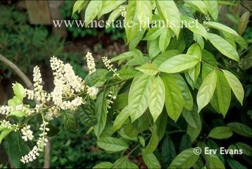 Itea chinensis