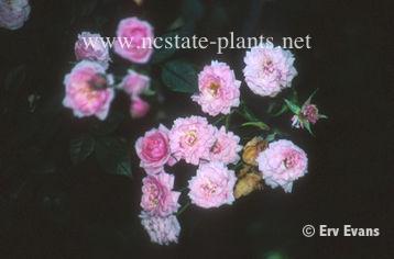 Rosa 'Jeanne Lajoie'