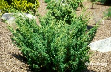 Juniperus chinensis 'Skimpaku'