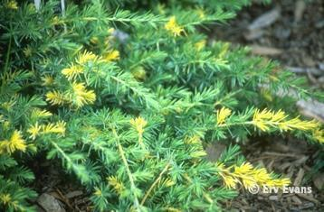 Juniperus conferta 'Variegata'