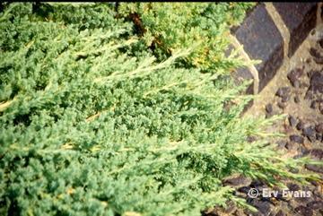 Juniperus procumbens = J. chinensis var. procumbens