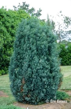 Juniperus scopulorum 'Pathfinder'