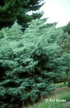 Juniperus scopulorum 'Table Top'