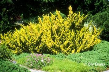 Juniperus x media 'Plumosa Aurea'