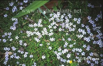 Laurentia fluviatilis