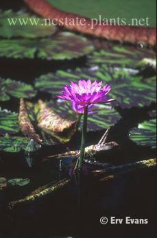 Nymphaea 'Leopardess'