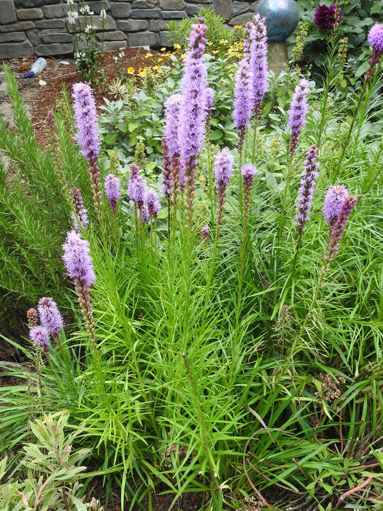 Erect stems with purple flowers.