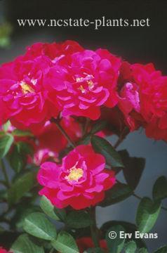 Rosa 'MORten'