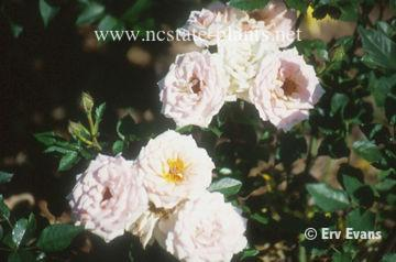 Rosa 'Loving Touch'