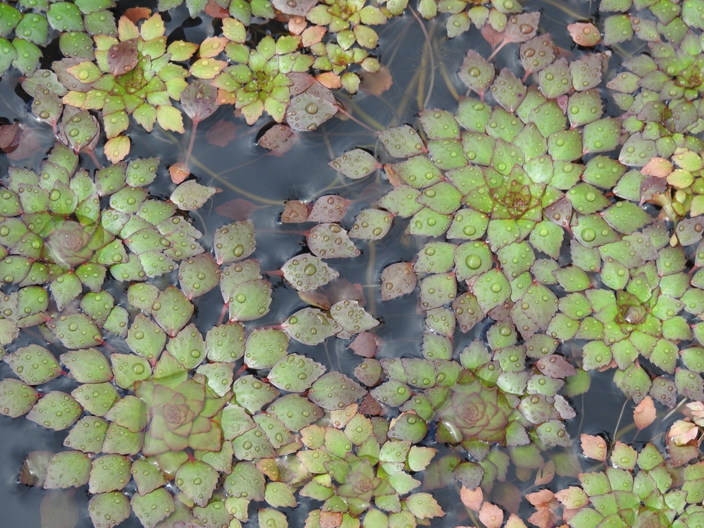 Ludwigia sedoides leaves