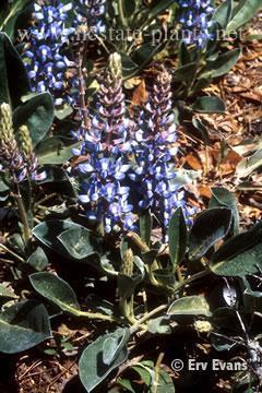 Lupinus diffusus