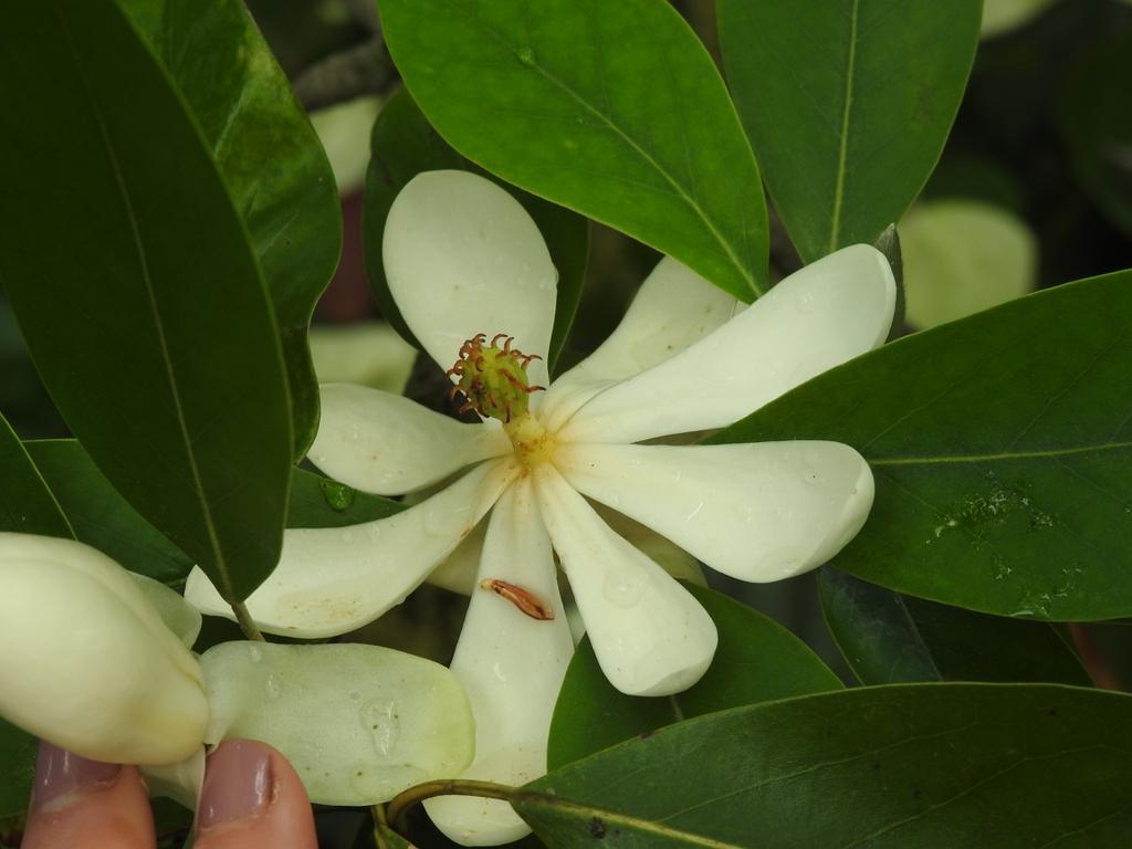Magnolia virginiana var australis 'Henry Hicks' flower