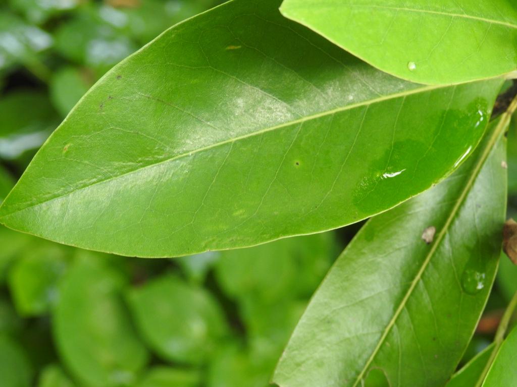 Magnolia virginiana var australis 'Henry Hicks' upper leaf