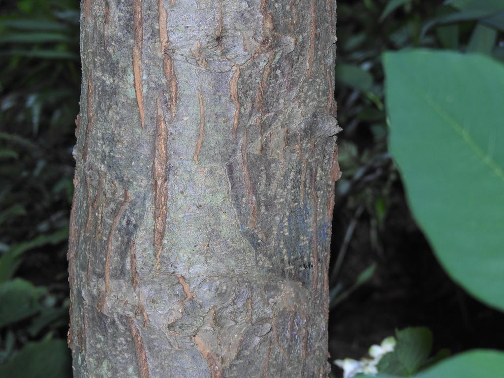 Malus 'royal raindrops' crabapple bark