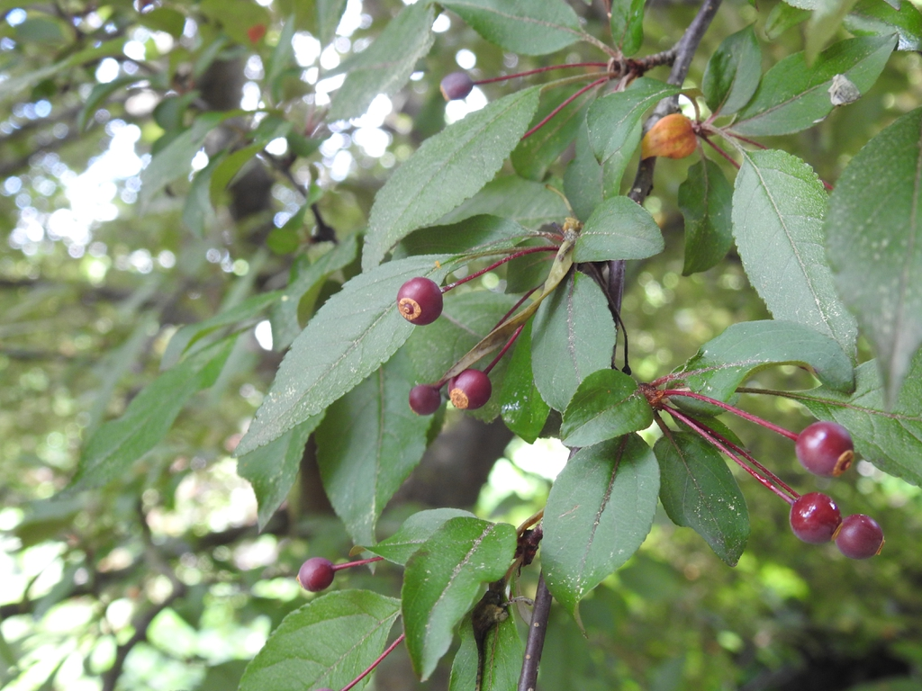Malus 'royal raindrops' crabapple fruit