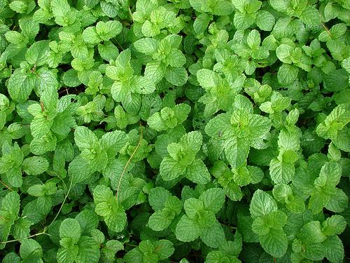 Mentha spica leaves