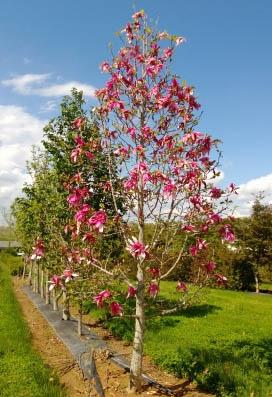 Mercury™ Magnolia