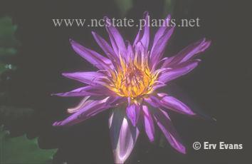 Nymphaea 'Midnight'