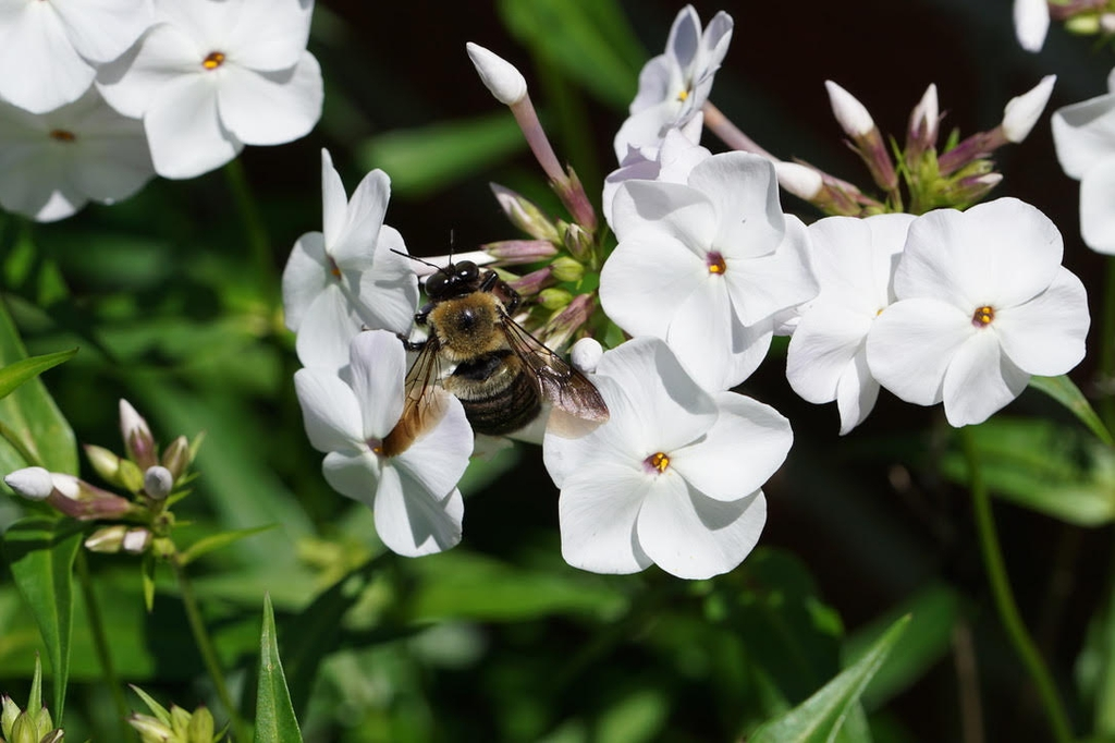 A bee nectaring on showy white flowers of 'Minnie Pearl' Pender