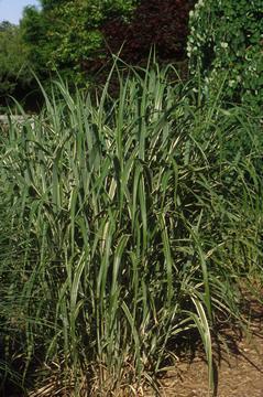 Miscanthus sinensis var. Condensatus 'Cosmopolitan'