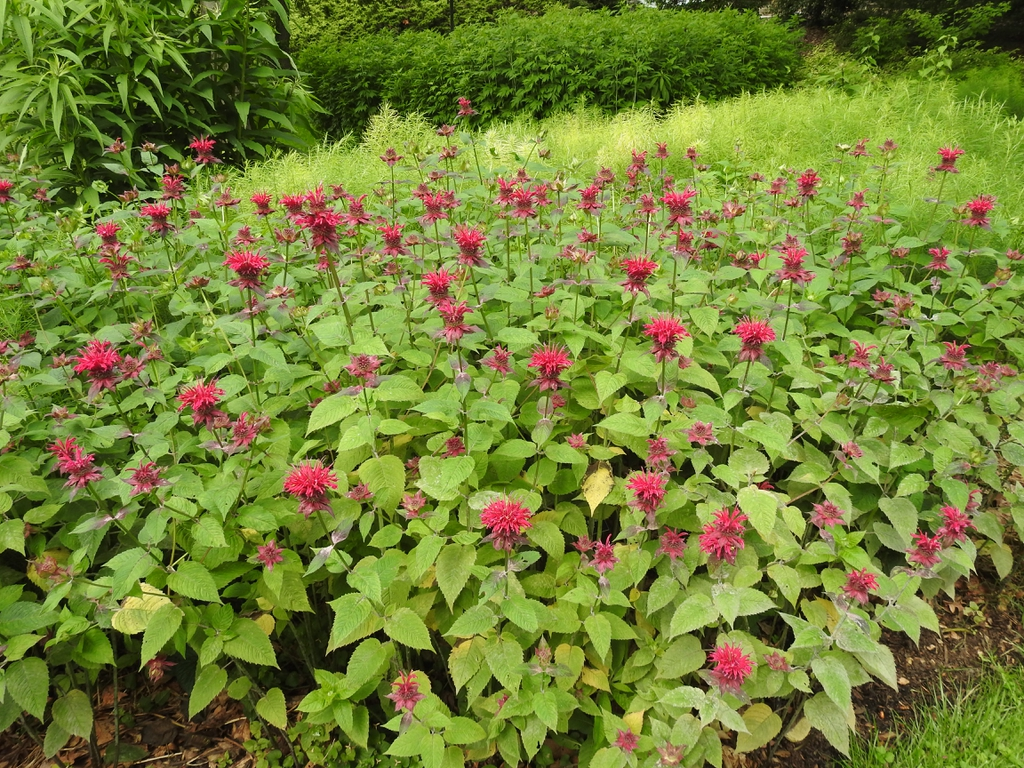Monarda 'Raspberry Wine' form