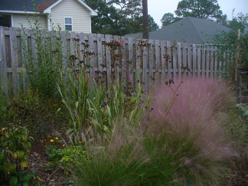 Muhlenbergia capillaries with Eryngium yuccifolium in fall in Mo
