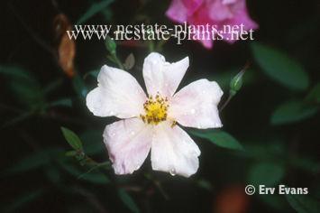 Rosa chindensis mutabilis