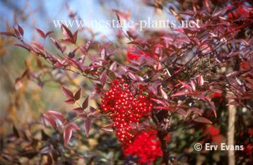 Nandina domestica 'Umpqua Chief'