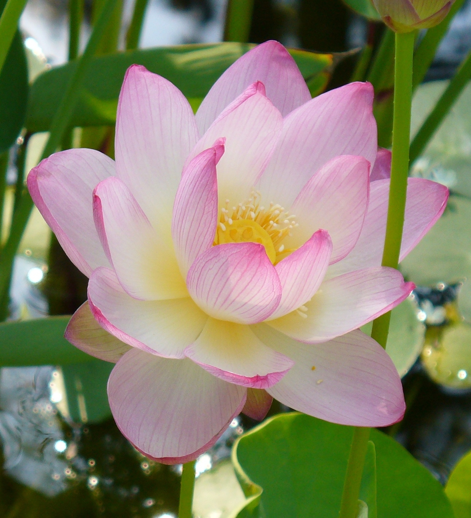 Nelumbo nucifera in summer in Moore County