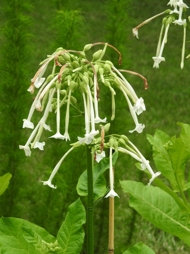 Nicotiana sylvestris flowers