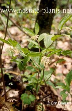 Disporum maculatum