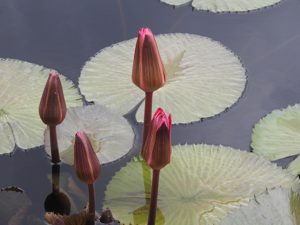 Nymphaea 'Catherine Marie' flower buds