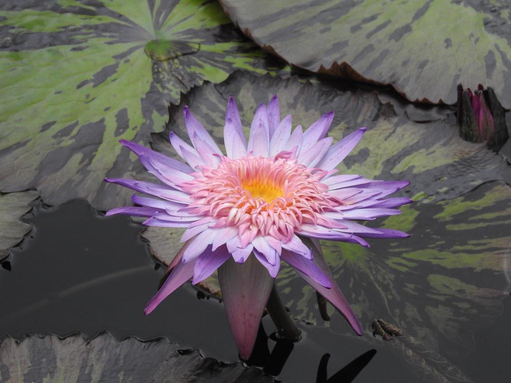 Nymphaea 'Foxfire' flower