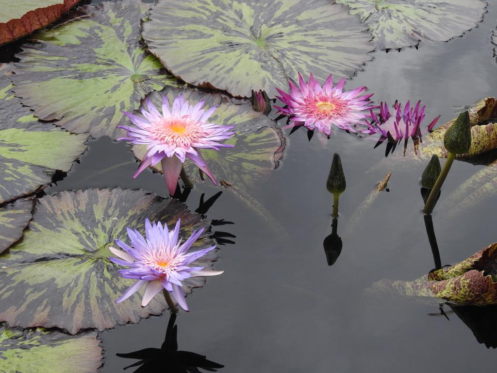 Nymphaea 'Foxfire' flowers