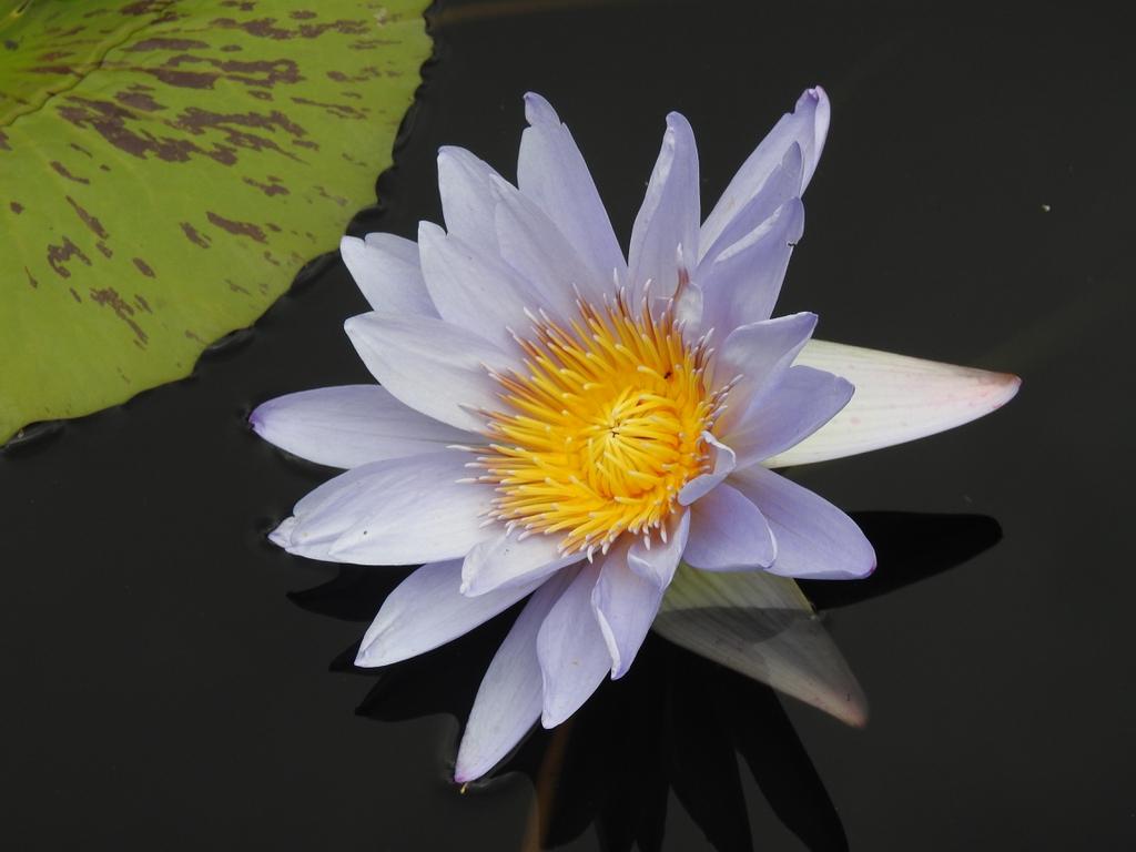 Nymphaea 'Joe Cutak' flower