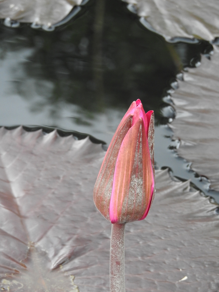 Nymphaea 'Red Cup' flower bud