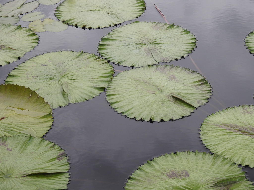 Nymphaea 'Trudy Slocum' leaves