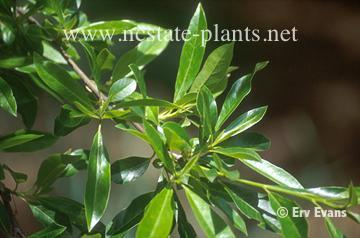 Photo of Nyssa aquatica leaves