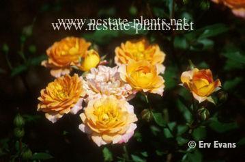 Rosa 'Orange Honey'