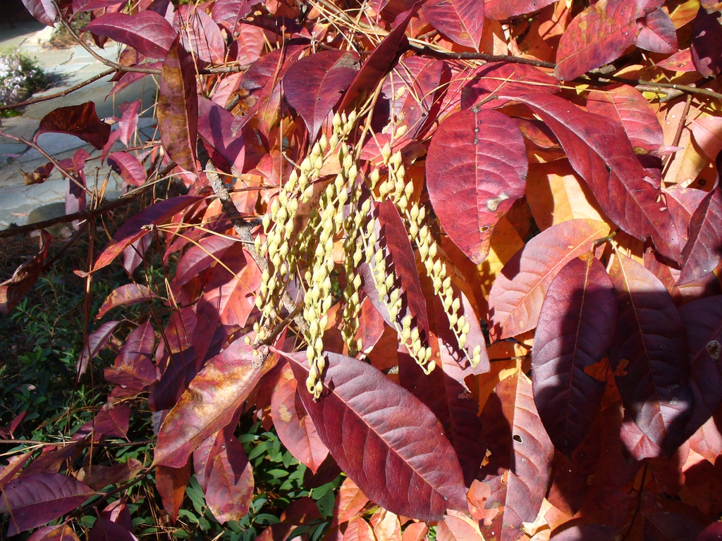 Oxydendrum arboreum leaves in the fall in Moore County