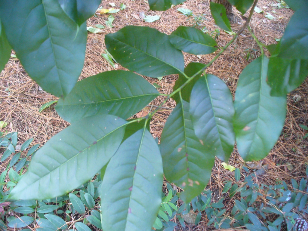 Oxydendrum arboreum's green leaves in the summer in Moore County