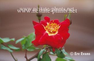 Rosa 'TANprik