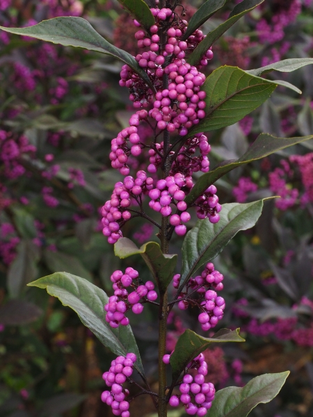 Pearl Glam™ beautyberry