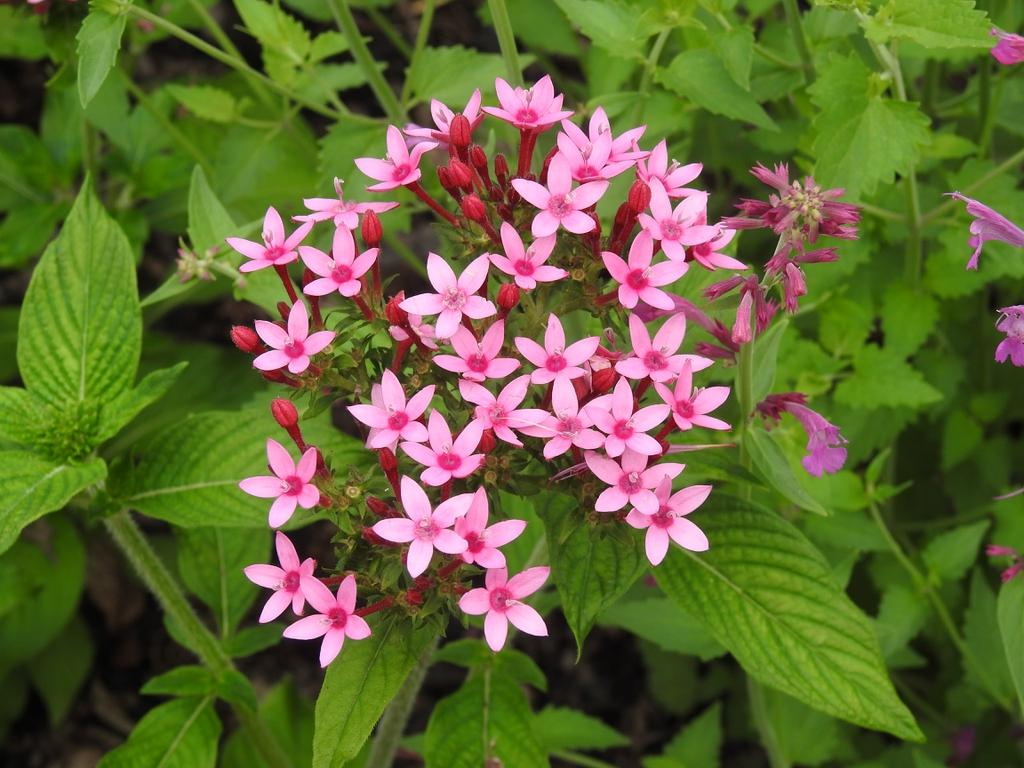 Pentas lanceolata 'Lonwood Pink' flowers
