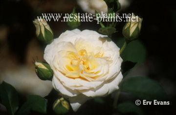 Rosa 'AUSperd'