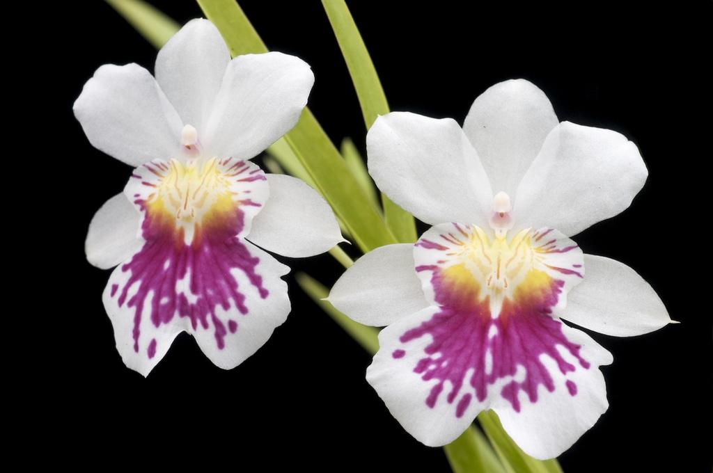 Phalaenopsis 'Golden Gate'