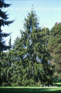Picea abies cranstonii
