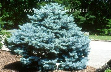 Picea pungens 'Compacta'
