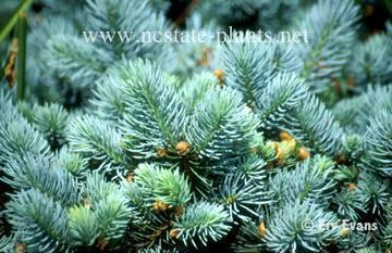 Picea pungens 'Mission Blue'